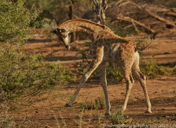 angolan-giraffe-copyright-photographers-on-safari-com-6994