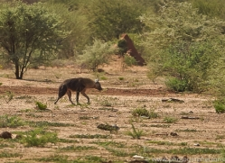brown-hyena-copyright-photographers-on-safari-com-6979