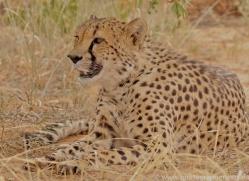 cheetah-copyright-photographers-on-safari-com-6822