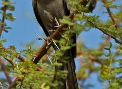 grey-go-away-bird-copyright-photographers-on-safari-com-7047
