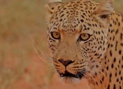 leopard-copyright-photographers-on-safari-com-6813