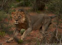 lion-copyright-photographers-on-safari-com-6776