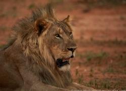 lion-copyright-photographers-on-safari-com-6782