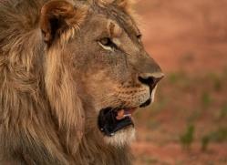 lion-copyright-photographers-on-safari-com-6784