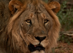 lion-copyright-photographers-on-safari-com-6786
