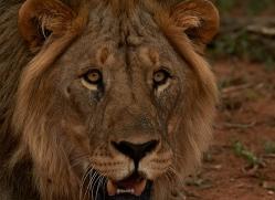 lion-copyright-photographers-on-safari-com-6788