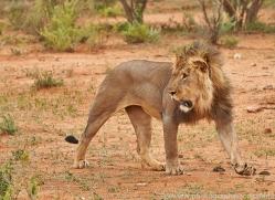 lion-copyright-photographers-on-safari-com-6789