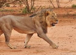 lion-copyright-photographers-on-safari-com-6790