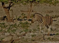 mountain-zebra-copyright-photographers-on-safari-com-6997
