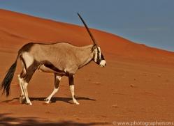oryx-copyright-photographers-on-safari-com-7003
