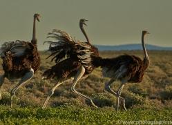 ostrich-copyright-photographers-on-safari-com-7008