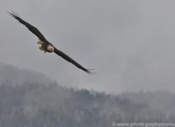 Eagles 2014-1copyright-photographers-on-safari-com