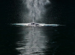 Whales 2014-16copyright-photographers-on-safari-com