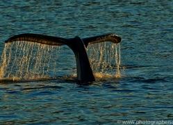 Whales 2014-22copyright-photographers-on-safari-com