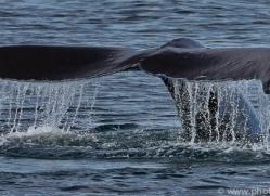 Whales 2014-33copyright-photographers-on-safari-com