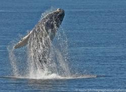 Whales 2014-3copyright-photographers-on-safari-com