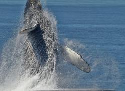 Whales 2014-4copyright-photographers-on-safari-com