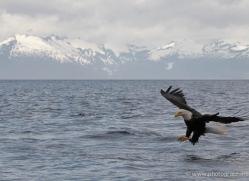 bald-eagle-alasaka-4622-copyright-photographers-on-safari