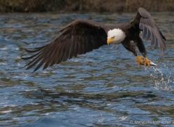 bald-eagle-alasaka-4623-copyright-photographers-on-safari