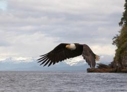 bald-eagle-alasaka-4627-copyright-photographers-on-safari