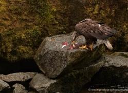 black-bear-anan-alasaka-4641-copyright-photographers-on-safari