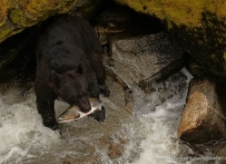 black-bear-anan-alasaka-4650-copyright-photographers-on-safari