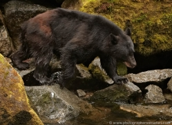 black-bear-anan-alasaka-4653-copyright-photographers-on-safari