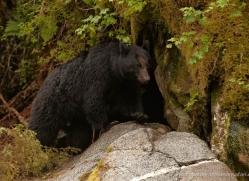 black-bear-anan-alasaka-4658-copyright-photographers-on-safari