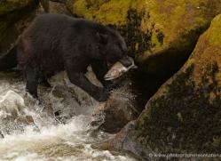 black-bear-anan-alasaka-4661-copyright-photographers-on-safari