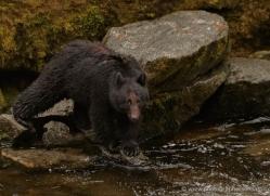 black-bear-anan-alasaka-4662-copyright-photographers-on-safari