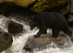 black-bear-anan-alasaka-4663-copyright-photographers-on-safari