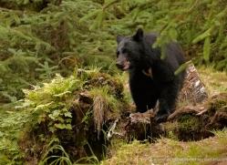 black-bear-anan-alasaka-4664-copyright-photographers-on-safari