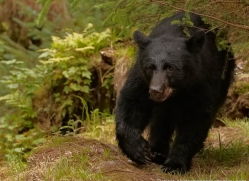 black-bear-anan-alasaka-4665-copyright-photographers-on-safari
