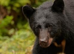 black-bear-anan-alasaka-4667-copyright-photographers-on-safari