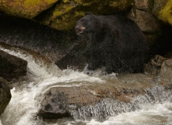 black-bear-anan-alasaka-4668-copyright-photographers-on-safari