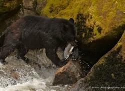 black-bear-anan-alasaka-4670-copyright-photographers-on-safari