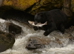 black-bear-anan-alasaka-4673-copyright-photographers-on-safari