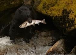 black-bear-anan-alasaka-4676-copyright-photographers-on-safari