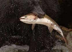 black-bear-anan-alasaka-4679-copyright-photographers-on-safari