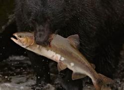 black-bear-anan-alasaka-4680-copyright-photographers-on-safari