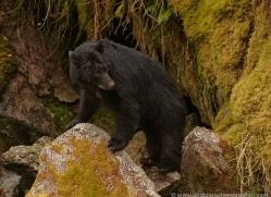 black-bear-anan-alasaka-4681-copyright-photographers-on-safari
