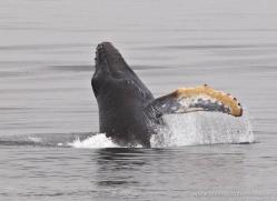humpback-whale-breach-alasaka-4600-copyright-photographers-on-safari