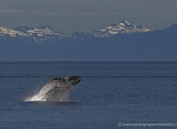 humpback-whale-breach-alasaka-4601-copyright-photographers-on-safari