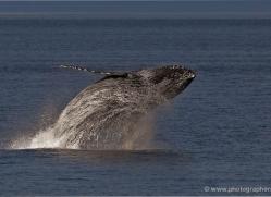humpback-whale-breach-alasaka-4602-copyright-photographers-on-safari