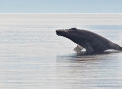 humpback-whale-breach-alasaka-4605-copyright-photographers-on-safari