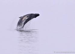 humpback-whale-breach-alasaka-4610-copyright-photographers-on-safari