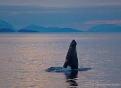 humpback-whale-spyhop-alasaka-4606-copyright-photographers-on-safari