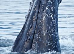 humpback-whale-spyhop-alasaka-4608-copyright-photographers-on-safari