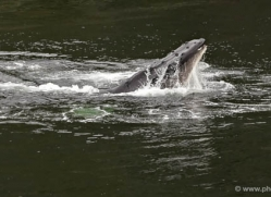 humpback-whales-inside-passage-alasaka-4732-copyright-photographers-on-safari