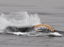 humpback-whales-inside-passage-alasaka-4739-copyright-photographers-on-safari